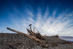 Galande på Driftwood royaltyfria bilder