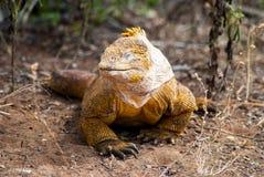 Galapagos land iguana Royalty Free Stock Photos