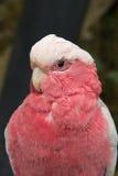 Galah, μακροεντολή ροδαλός-Breasted Cockatoo (roseicapilla Eolophus) Στοκ φωτογραφίες με δικαίωμα ελεύθερης χρήσης