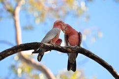 Galah στο δέντρο στοκ φωτογραφίες με δικαίωμα ελεύθερης χρήσης
