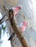 Galah Fotos de Stock Royalty Free