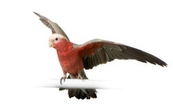 Galah Royalty Free Stock Photography