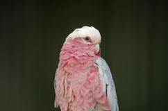 Galah Foto de Stock Royalty Free