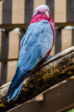 Galah bird Stock Photo