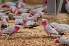 Galah CACTUA ROSEICAPILLA - perroquet d'Australie occidentale - ceinture de blé Images libres de droits