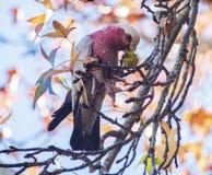 Galah che mangia dall'albero Fotografia Stock Libera da Diritti