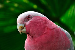 Galah Cockatoo Royalty Free Stock Photo