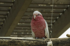 Galah Cockatoo. The galah also known as the rose-breasted cockatoo, galah cockatoo, roseate cockatoo or pink and grey, is one of the most common and widespread stock photo