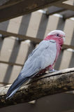 Galah Cockatoo. The galah also known as the rose-breasted cockatoo, galah cockatoo, roseate cockatoo or pink and grey, is one of the most common and widespread royalty free stock images