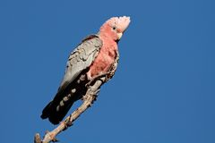 Galah Cockatoo, Australia Stock Images
