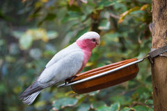 Galah cockatoo  is a common parrot of Australia Stock Photo