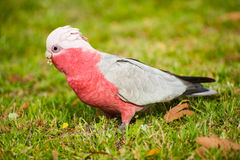 Galah cockatoo. (Eolophus roseicapilla) is a common parrot of Australia. On the picture he is looking for seeds royalty free stock photos