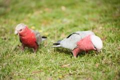 Galah cockatoo Stock Image