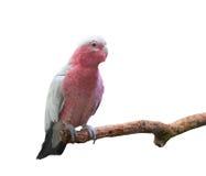 Galah cockatoo isolated Royalty Free Stock Image