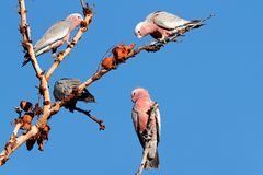 Galah Cockatoos, Australia Royalty Free Stock Images