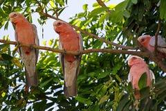 Galah Cockatoos - Cacatua roseicapilla, Kakadu National Park, No Stock Images