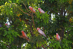 Galah Cockatoos - Cacatua roseicapilla, Kakadu National Park, No Royalty Free Stock Photography