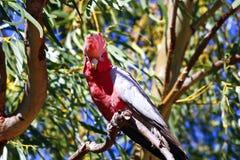 Galah Cockatoos - Cacatua roseicapilla, Kakadu National Park, No Royalty Free Stock Photos