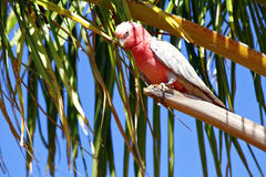Galah Cockatoos - Cacatua roseicapilla, Kakadu National Park, No Stock Photos