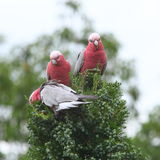 Galah cockatoos eating. Australian pink cockatoos, Galahs, feeding on buds in a district of Sydney. Unique wildlife in Australia Stock Photos