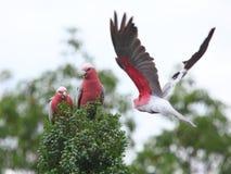 Galah Cockatoos im Baum Lizenzfreie Stockbilder