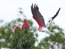 Galah cockatoos in tree. Galah cockatoos: a pair on a tree eating, a third one comes flying -  the unique Australian wildlife Royalty Free Stock Images