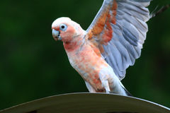 Galah Corella Hybrid. These birds are known to be found in the wild in Australia it is believed they do not live much more than a few years and are infertile Stock Image
