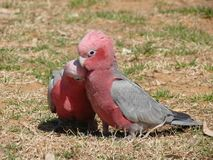 Galah couple cuddling each other stock photos