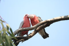 Galah Royalty Free Stock Images