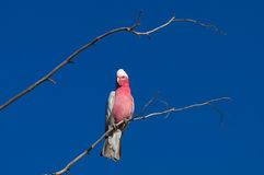 Galah Royalty Free Stock Image