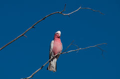 Galah Stock Photos