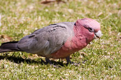 Galah, Eolophus roseicapillus, very common parrot in Australia Stock Photo