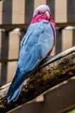 Galah fågel Arkivfoto
