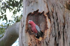 Galah in gum tree hollow Stock Photos