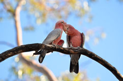 Galah na árvore Fotos de Stock Royalty Free