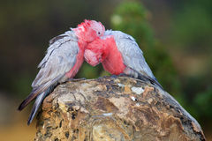 Galah Pair Royalty Free Stock Photo