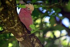 Galah Parrot Cockatoo Bird Sitting On A Tree Branch Stock Photo