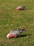 Galah parrots (Cacatua roseicapilla) Stock Photo
