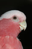 Galah Royalty Free Stock Photo
