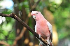 Galah rosado y gris Fotos de archivo libres de regalías