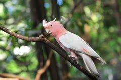 Galah rosado y gris Imagen de archivo libre de regalías