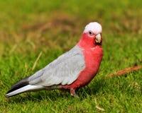 Galah rosado y gris Foto de archivo libre de regalías
