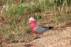 Galah rosado y gris australiano Imagen de archivo libre de regalías