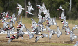 Galahs в полете Стоковые Фото