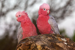 Galahs Royalty Free Stock Photo