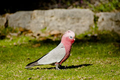 Galahs - Australia. Galah Bird in Yanchep - Australia royalty free stock photo