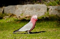 Galahs - Australie Photo libre de droits