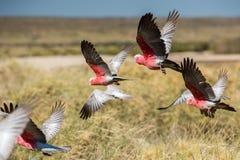 Galahs cacatua Австралии закрывают вверх по портрету Стоковые Изображения