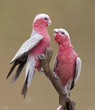 Galahs Stock Photos