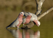 Galahs drinking Stock Photography